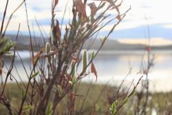 Willows along the bank of Toolik Lake. Toolik Field Station, Alaska. Photo by Regina Brinker.