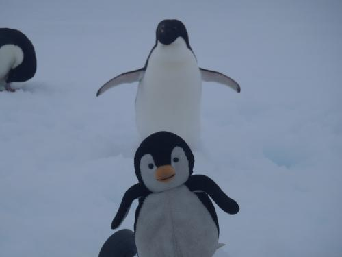 Pascy the Penguin with an Adelie
