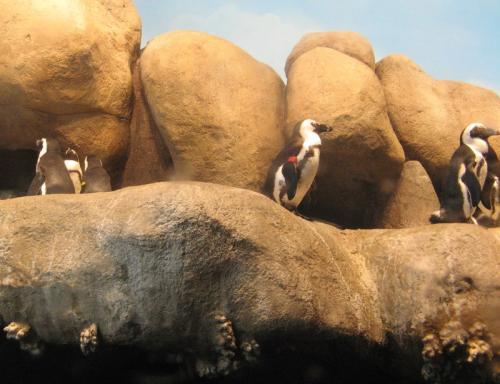 Penguins in San Francisco?