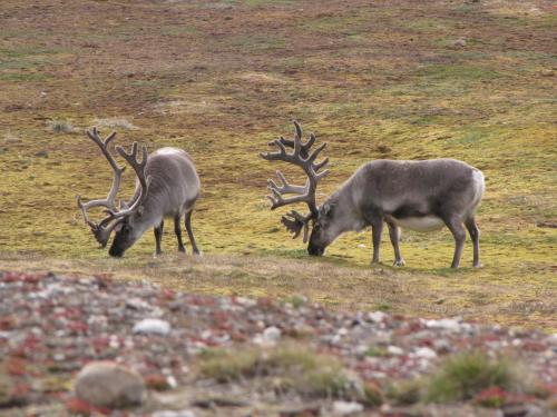Reindeer in Svalbard.