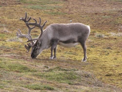 Another Reindeer picture.