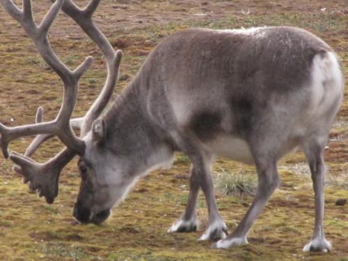 And another reindeer picture.