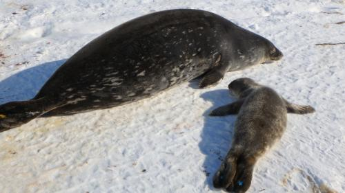 Weddell seal mother and pup