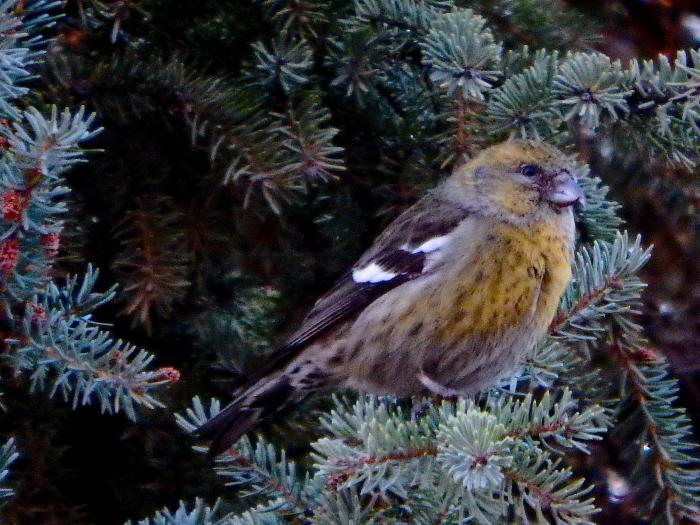 White-winged Crossbill, Female (Loxia leucoptera)