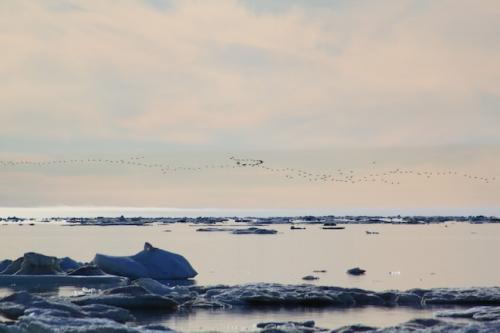 Migrating ducks
