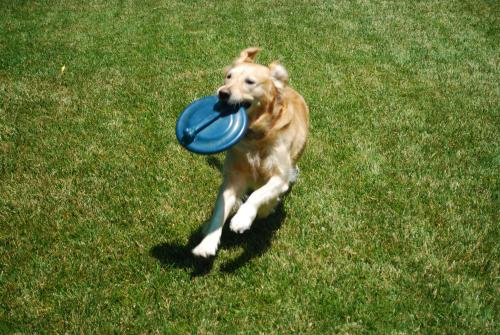 Goldie and her Frisbee