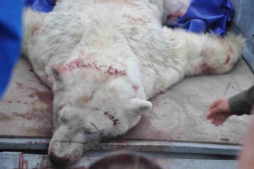 Polar bear shot by Kangerlussuaq police