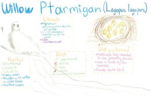 Willow ptarmigan species journal