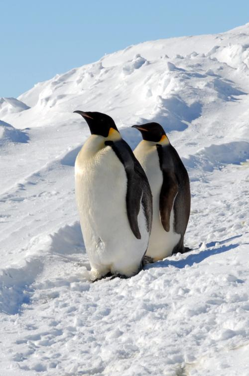 Emporer penguins