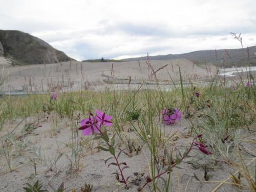 Niviarsiaq (purple flowers) near the Watson River