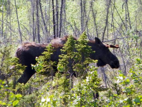 Moose on the move!