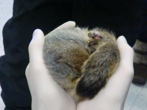 Hibernating Arctic Tree Squirrel