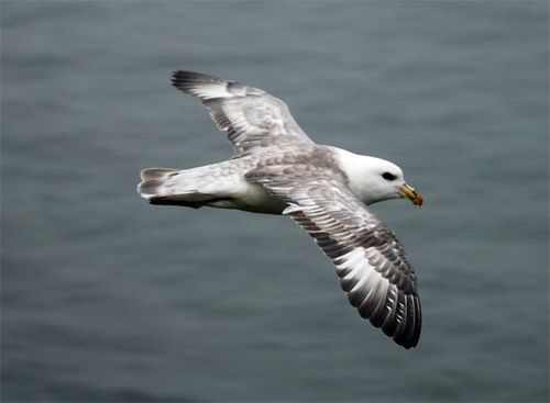 I'd only seen Northern Fulmars from a boat before coming to the Pribilofs!