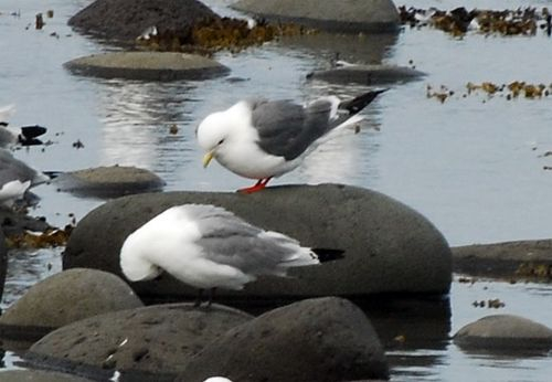 The Pribilofs are one of four locations in the world with breeding Red-legged Kittiwakes.