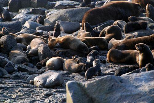There are more fur seals here than anywhere in the world