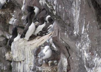 Kiveepuk kittiwake chicks