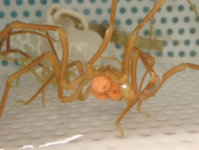 A sea spider with three orange egg cases