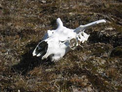 Caribou skull on the tundra