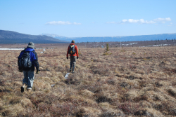 Walking to work over tundra hummocks
