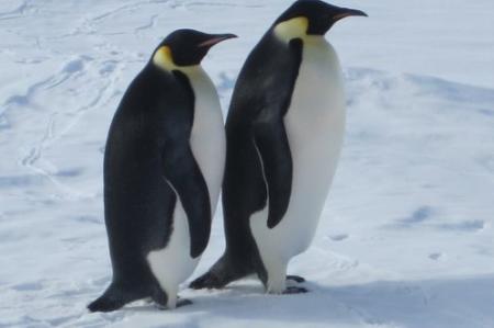 Two Emperor Penguins