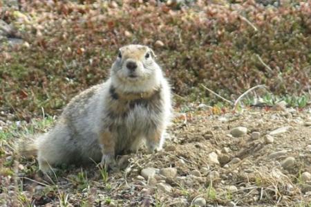 Collared squirrel