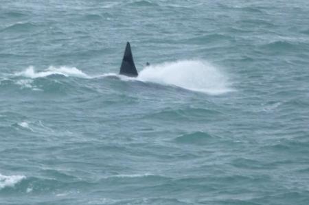 Orca Dorsal Fins