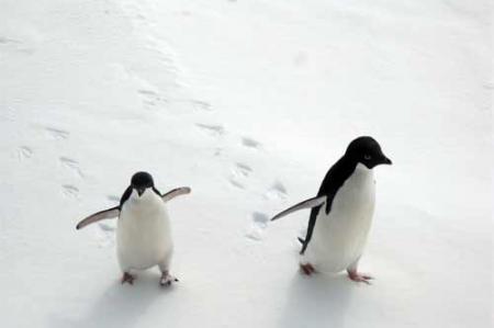 Pair of Adelie Penguins