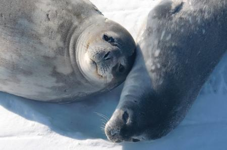 Weddell Seal mom and pup