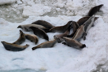 Group of crabeater seals