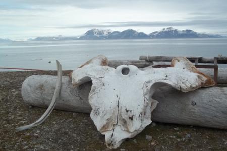 Whale bones along the Kapp Linne coast