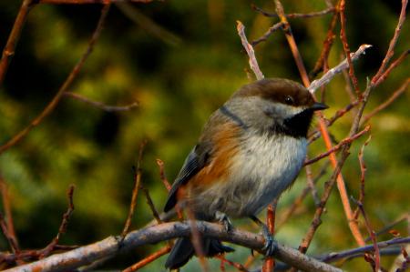 Boreal Chickadee (Poecile hudsonicus)