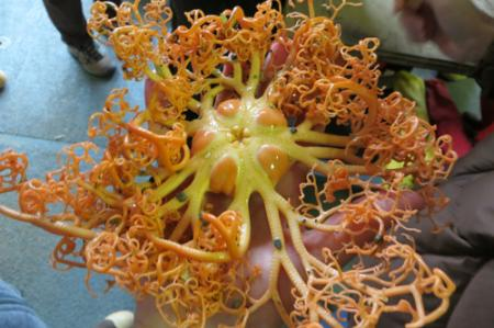 Healy 1201 Basket star