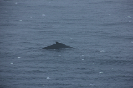 A Minke whale surfacing off the starboard side. Photo by David Gwyther