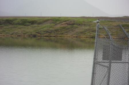 Arctic Tern on fence along Dalton Highway near Atigun River