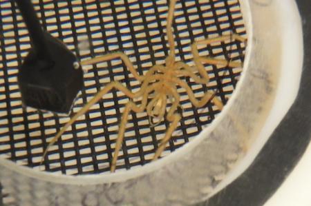 sea spider chamber