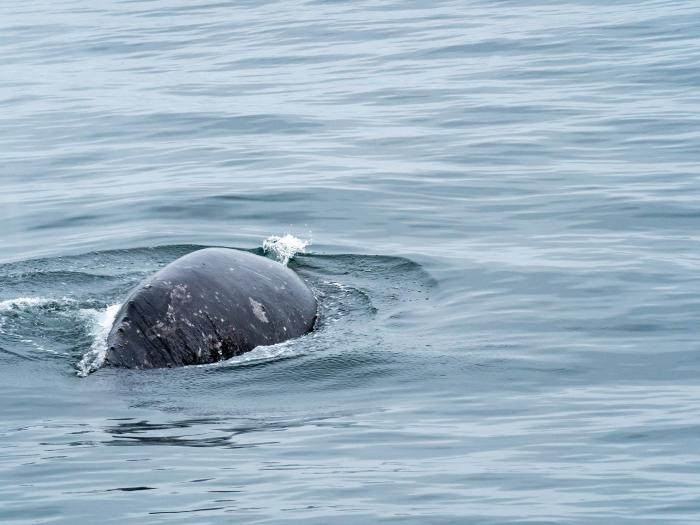The back of a Gray Whale with no dorsal fin. (Courtesy of Lindsey Leigh Graham)