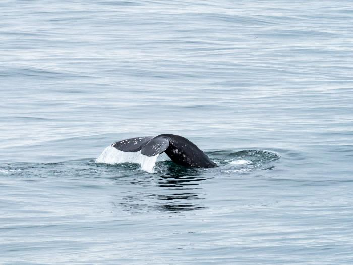 Gray Whale fluke. (Courtesy of Lindsey Leigh Graham)