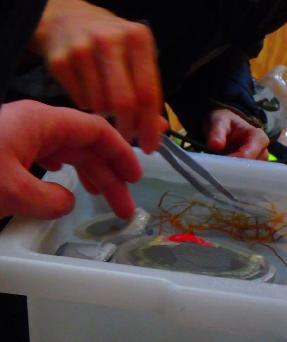 Looking at sea spiders in a white tub