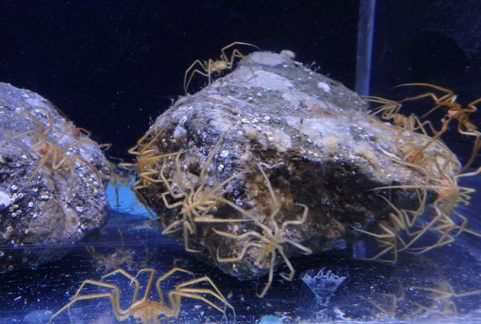 Sea spiders on a rock