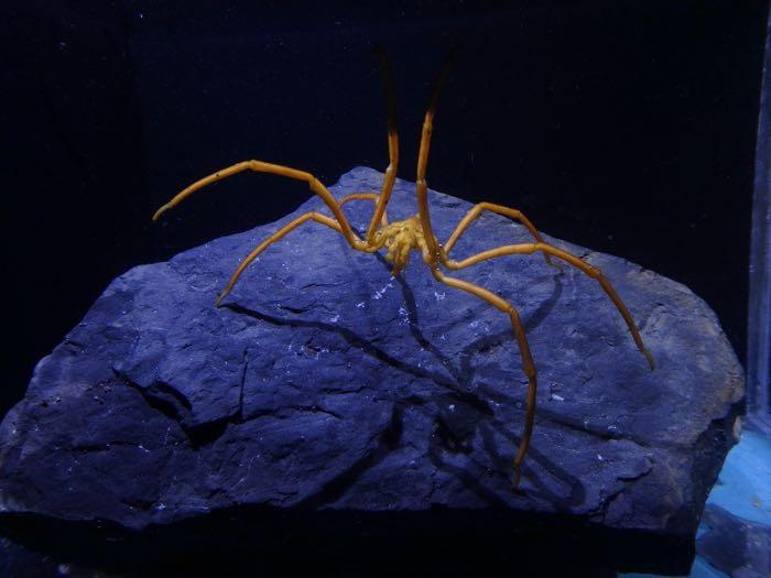 Sea spider on a rock with two of its legs raised