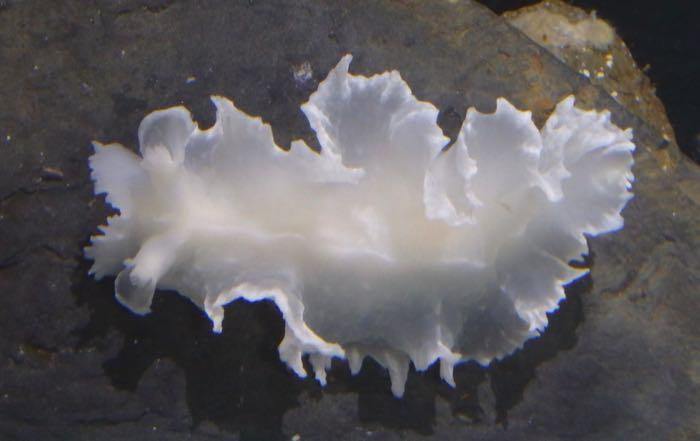 white nudibranch on a rock