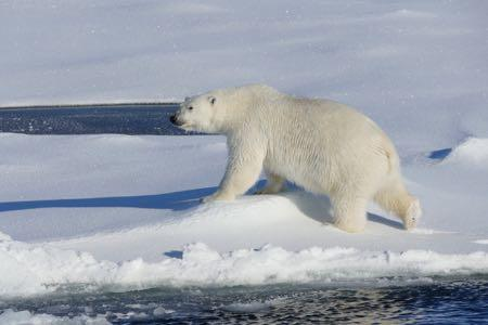 A polar bear crosses the sea ice.