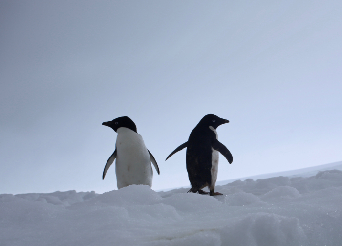 Adélie penguins that are part of the large colony that nests in the Edwards Islands. Edwards Islands #10, Amundsen Sea, Antarctica. Credit to Read: