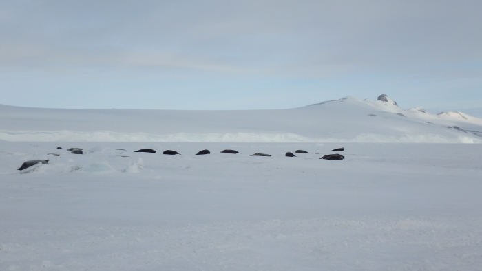 Weddell seals rest near a sea ice hole. Turtle Rock, Antarctica.