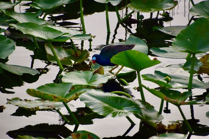 Purple gallinule searching for food among the spatterdock plants.