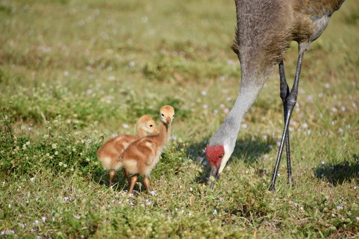 Sandhill crane chick looking at the camera!