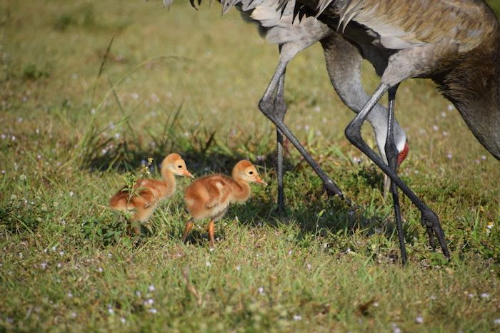 Sandhill crane chicks following the long legs of their parents.
