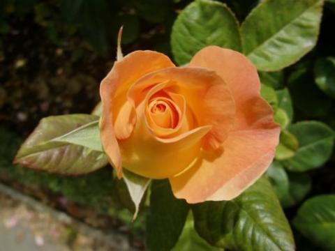 'Burma Star' rose