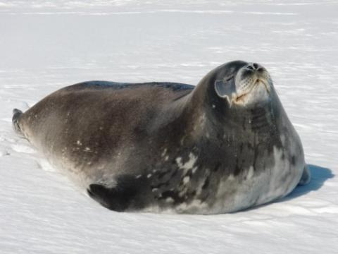 Body of the Weddell seal