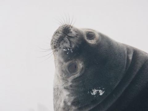 Weddell seal eyes